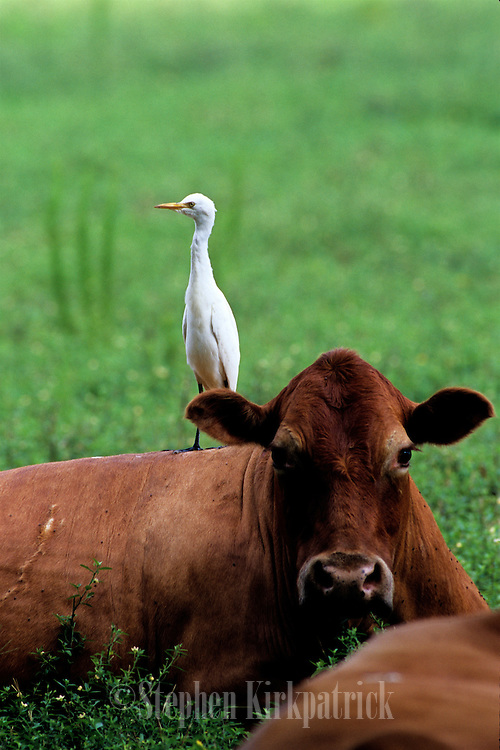 Cattle Egret resting on cow in pasture - Mississippi