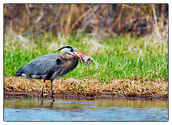 Heron enjoys some fresh fish at Busch Wildlife in St. Charles County, Missouri.