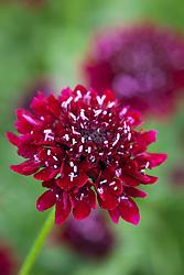 Scabiosa atropurpurea 'Black Knight'. Scabious