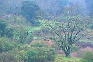 Early winter foliage on oak trees in winter, Lafayette Reservoir, Contra Costa County, CALIFORNIA