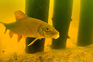 Silver Redhorse<br /> <br /> Engbretson Underwater Photography