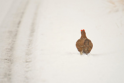 A Red Grouse in the Cairngorms wades through the snow  as Storm Doris hits the UK. 23rd Feb 2017 (c) Brian Anderson   Edinburgh Elite media