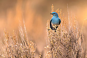 Western Bluebird signals the arrival of spring in Montana.
