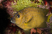 Yellowtail Damselfish (Microspathodon chrysurus)<br /> BONAIRE, Netherlands Antilles, Caribbean<br /> HABITAT & DISTRIBUTION: Reef tops in small territory.<br /> Florida, Bahamas, Caribbean, Gulf of Mexico, Bermuda & south to Brazil.