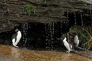 Der pure Genuß für einen Seevogel ist die Gefiederpflege mit Süßwasser. Diese Felsenpinguine (Eudyptes chrysocome) haben sogar eine sonnige Großraumdusche, aber Luxus macht offenbar aggressiv: Nirgendwo sonst in der Felsenpinguinkolonie kommt es so oft zu Streitereien.    What a seabird enjoys most is a freshwater bath. These rockhopper penguins (Eudyptes chrysocome) even have a huge sunny shower, but luxury seems to make quarrelsome: nowhere else in the rockhopper colony so much aggressive behaviour can be seen.
