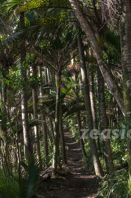 The Heaphy Track, leading through tall Nikau stands, along the west coast of the South Island of New Zealand.