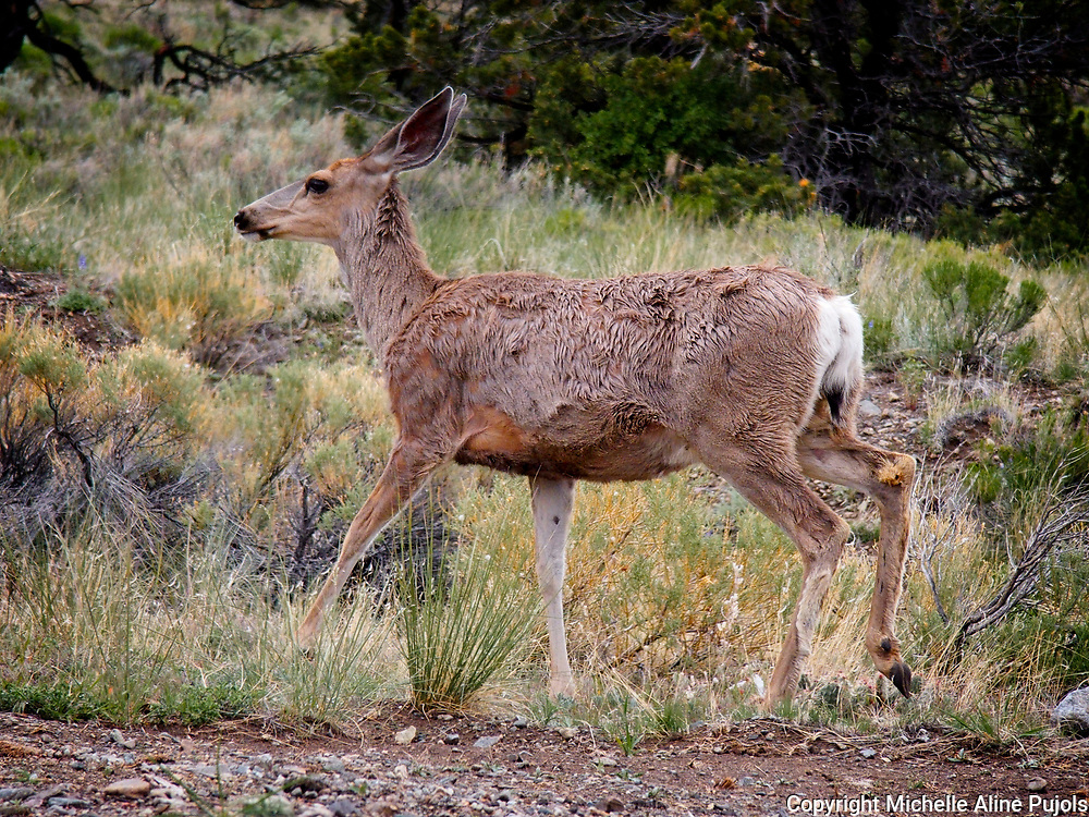 Deer running through the Great Sand Dunes National Park, Colorado