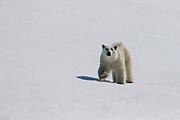 A  polar bear (Ursus maritimus) walking through the snow ,Svalbard, Norway