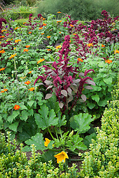 Amaranthus paniculatus 'Red Fox' with Tithonia rotundifolia 'Torch' and Courgette 'Green Bush'