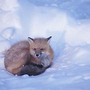 Red Fox, (Vulpus fulva) Adult curled up in snow. Churchill, Manitoba. Canada.