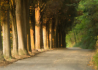 Cyprus trees line a roadway outside of Montepulciano, Italy.