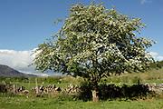 Hawthorn or quickthorn, Crataegus monogyna, tree in flower, in blossom, Applecross, Ross-shire, Highland..
