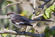Northern Mockingbird with insect in it's bill.(Mimus polyglottos).Irvine,California