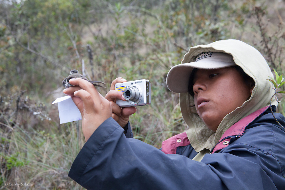 Scientific reserach assistants mist net and study Andean songbirds at Wayqecha Biological Reserve on the Eastern slopes of the Peruvian Andes. Cloud forest at 2950 meters elevation. The reserve is managed by the Amazon Conservation Association and the Asociación para la Conservación de la Cuenca Amazónica.