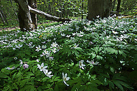 wood anemone (Anemone nemorosa), Matsalu Bay Nature Reserve, Estonia