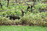 Double Guyot pruned vines in the vineyard. Chateau Beau-Sejour-Becot. Saint Emilion, Bordeaux, France