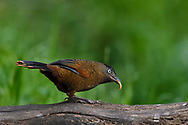 Blue-winged Laughingthrush, Trochalopteron squamatum, sitting on a tree trunk and feeding on a worm in Baihualing, Gaoligongshan, Yunnan, China