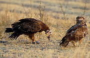 Tawny Eagles, Grumeti, Tanzania, East Africa