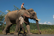 Asian elephant (Elephas maximus) domestic & Mahout used for logging<br /> Nagaland,  ne India