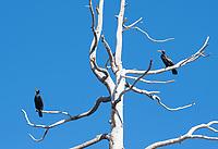 Double-crested Cormorants, Phalacrocorax auritus, perches in a dead tree at Lake Ewauna, Klamath Falls, Oregon