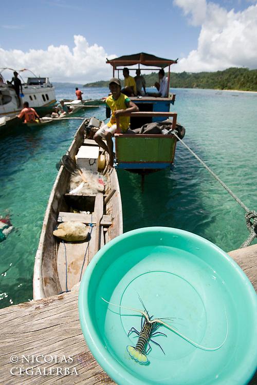Jeune langouste venant d'être pêchée<br /> <br /> village de Bonebaru sur l'ile Banggai dans les Sulawesis en Indonésie - Mission Banggai Cardinal Fish, Mai 2008, Act for Nature - Musee oceanographique de Monaco