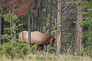 Bull elk during the autumn rut