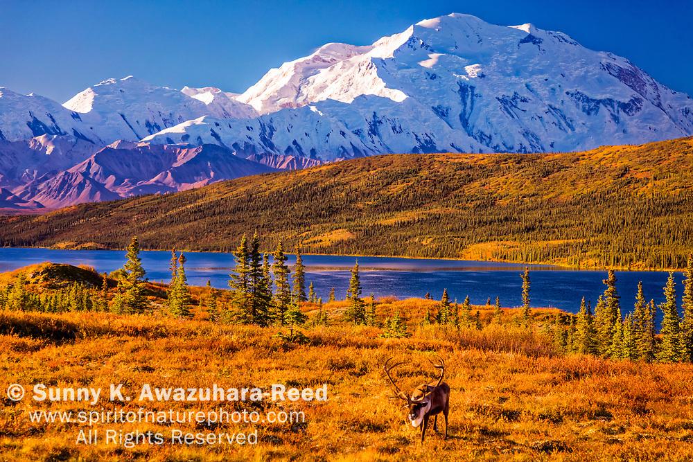 Bull Caribou feeding in fall color tundra with Mt. Denali (McKinley) and Wonder Lake background. Denali National Park & Preserve, Interior Alaska, Autumn.