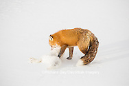 01871-02903 Red Fox (Vulpes vulpes) eating Arctic Fox (Alopex lagopus) at Cape Churchill, Wapusk National Park, Churchill, MB