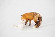 01871-02903 Red Fox (Vulpes vulpes) eating Arctic Fox (Alopex lagopus) at Cape Churchill, Wapusk National Park, Churchill, MB