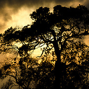 The golden setting sun silhouettes a tree at the Simba Campsite on the rim of the Ngorongoro Crater in the Ngorongoro Conservation Area, part of Tanzania's northern circuit of national parks and nature preserves.