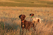 John Zeman's German shorthairs, Louie (left) and Liza lock up on point during a Montana prairie grouse hunt.