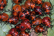 Shield Bugs, Family: Scutelleridae., Manu, Peru, jungle, amazon, nymphs group together, red and black colour, on leaf