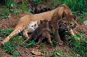Bobcat, Lynx rufus, Minnesota, USA, mother and cubs outside den, young are 5 weeks old, nursing, controlled conditions