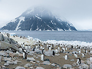 """Gentoo Penguins rest amid icebergs beached on the continent of Antarctica at Neko Harbor, Graham Land, the north portion of the Antarctic Peninsula. An adult Gentoo Penguin (Pygoscelis papua) has a bright orange-red bill and a wide white stripe extending across the top of its head. Chicks have grey backs with white fronts. Of all penguins, Gentoos have the most prominent tail, which sweeps from side to side as they waddle on land, hence the scientific name Pygoscelis, """"rump-tailed."""" As the the third largest species of penguin, adult Gentoos reach 51 to 90 cm (20-36 in) high. They are the fastest underwater swimming penguin, reaching speeds of 36 km per hour."""