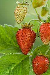 Alpine strawberry 'Mignonette' - Fragaria