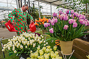 Working on the Bloms Bulbs Stand - The opening day of th Chelsea Flower Show.