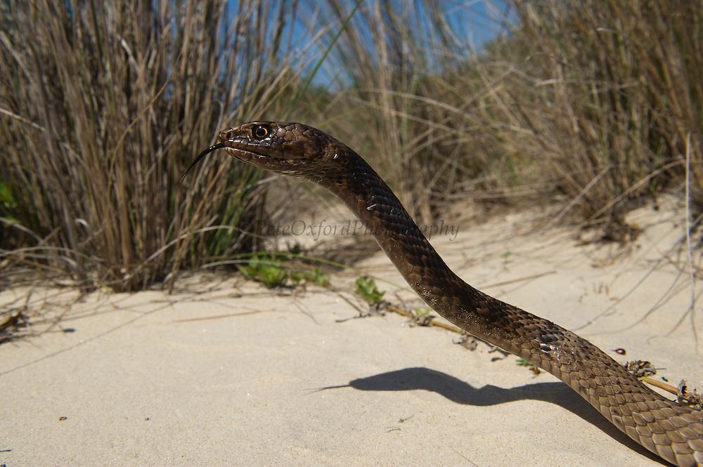Coachwhip (Masticophis flagellum)<br /> Little St Simon's Island, Barrier Islands, Georgia<br /> USA<br /> HABITAT & RANGE: Open habitats with sandy soils of southern USA