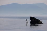 Grey heron on a rock looking for food. Early morning mood | Gråhegre på et skjer som ser etter mat. Morgenstemning i Nørdre Vaulen