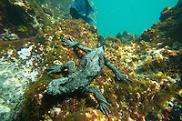 Marine iguana feeding on seaweed underwater in the Galapagos Islands, Ecuador.