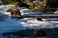 Bears await the beginning of the salmon run in the Brooks River, Katmai National Park, Alaska. <br /> Pictured from top to bottom, Bear 480 Otis, Bear 856, Bear 755, and Bear 634 Popeye.
