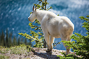 Mountain Goat on Hidden Lake Trail at Glacier National Park