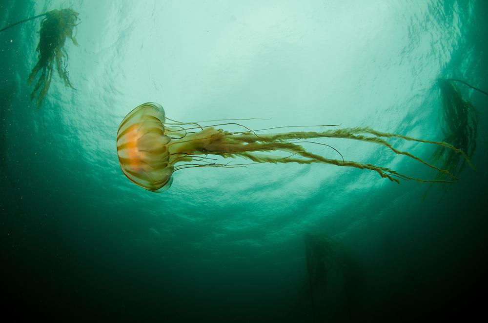 Alaska, Kasitsna Bay, NOAA Jellyfish