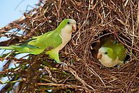 Monk Parakeet (Myiopsitta monachus) at nest, The Pantanal, Mato Grosso, Brazil Photo by: Peter Llewellyn