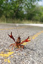 Crayfish on flooded road near Trinity River, Great Trinity Forest, Dallas, Texas, USA