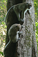 Long Tailed Macaque Monkeys - The common name of this animal varies. It is commonly referred to as the long tailed macaque because the tail of this macaque is usually about the same length as its body and because its long tail distinguishes it from most other macaques. The species is also known as the crab eating macaque.