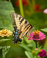 Tiger Swallowtail Butterfly on a Zinnia Flower. Image taken with a Nikon 1 V3 camera and 70-300 mm lens