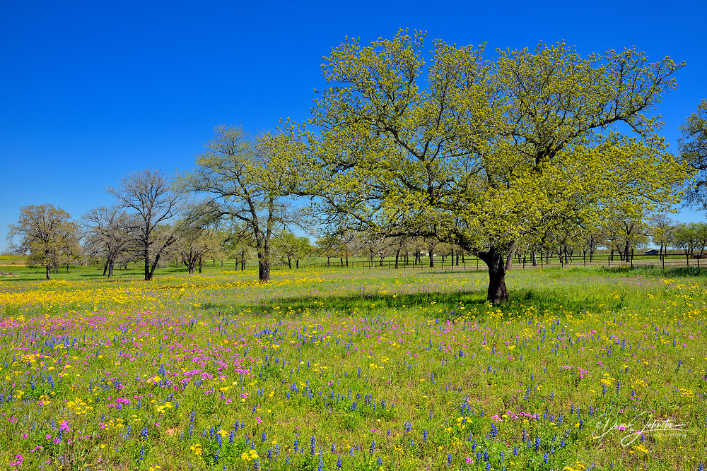 Oak trees and spring wildflowers, Hwy 123, Texas, USA