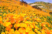Wildflowers, primarily California Poppy (Papaveraceae: Eschscholzia californica) and Parry Phacelia (Hydrophyllaceae: Phacelia parryi) in the burned hills of San Diego County from the 2007 Witch Creek fire near Lake Hodges, California.