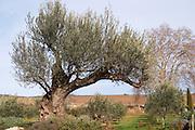 Very old olive tree. Domaine Mas Gabinele. Faugeres. Languedoc. France. Europe.