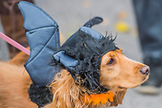 Ellice, a cocker spaniel - A charity Halloween Dog Walk and Fancy Dress Show organised by All Dogs Matter at the Spaniards Inn, Hampstead. London 29 Oct 2017.